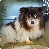 Pomeranian Dog for adoption in Vinemont, Alabama - Cee Cee