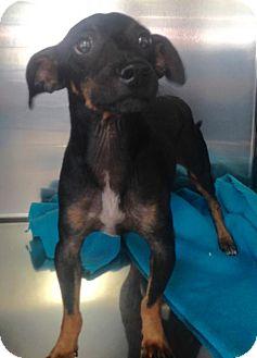 Dachshund Mix Dog for adoption in Albemarle, North Carolina - Gizmo