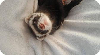 Ferret for adoption in Cleveland, Ohio - Paco
