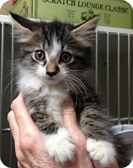Domestic Mediumhair Kitten for adoption in Putnam Hall, Florida - Pandora