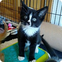 Adopt A Pet :: Kitten - Charlie (female) - Rootstown, OH