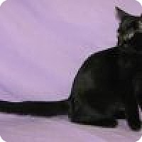 Domestic Shorthair Cat for adoption in Powell, Ohio - Katie