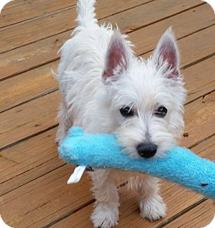 Westie, West Highland White Terrier Puppy for adoption in Omaha, Nebraska - Lizzy-Pending Adoption