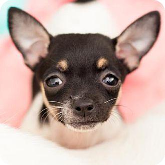 Rat Terrier Mix Puppy for adoption in Austin, Texas - Wobble