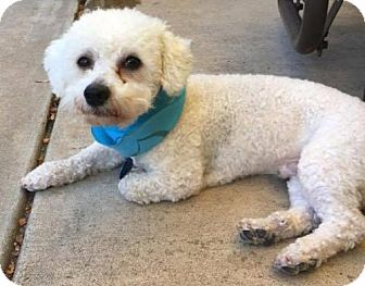 Bichon Frise Mix Dog for adoption in Englewood, Colorado - Trooper