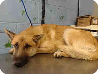 German Shepherd Dog Mix Dog for adoption in San Bernardino, California - URGENT on 9/27 SAN BERNARDINO