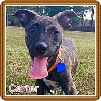 Adopt A Pet :: Carter - Cranford, NJ
