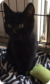 Domestic Shorthair Kitten for adoption in Mt Pleasant, Pennsylvania - Black Kittens