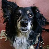 Adopt A Pet :: MICKEY - COURTESY - Los Angeles, CA
