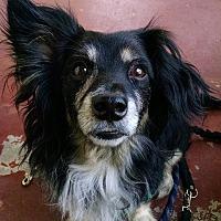 Adopt A Pet :: MICKEY - Courtesy - Los Angeles, CA