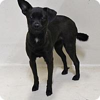 Adopt A Pet :: A11 Natalie - Odessa, TX