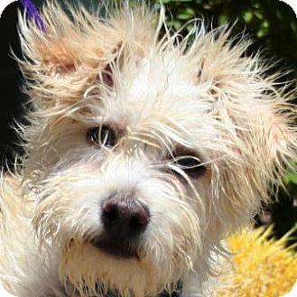 Snarf Adopted Puppy Gilbert Az Schnauzer Miniature Fox Terrier Wirehaired Mix