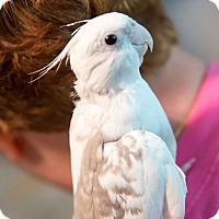 Adopt A Pet :: Bitsy - St. Louis, MO