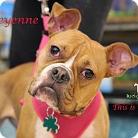 Adopt A Pet :: Cheyenne - Alpharetta, GA