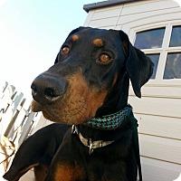 Adopt A Pet :: Loki - Sinking Spring, PA
