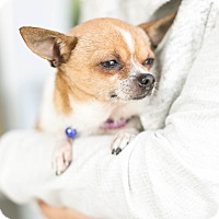Adopt A Pet :: Pebbles Von Furstenchi - Los Angeles, CA