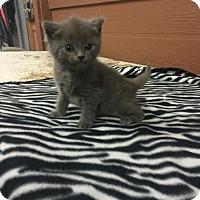 Adopt A Pet :: Raider - Danbury, CT