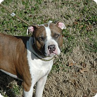 American Pit Bull Terrier Mix Dog for adoption in Wartrace, Tennessee - Jax