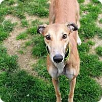 Adopt A Pet :: Bean - Randleman, NC