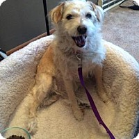 Adopt A Pet :: Scruffy - Northfield, MN