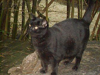 Domestic Shorthair Cat for adoption in Bonita Springs, Florida - Midnight