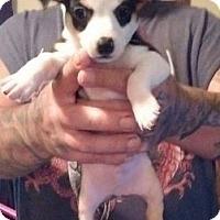 Adopt A Pet :: Rookie - Hillside, IL