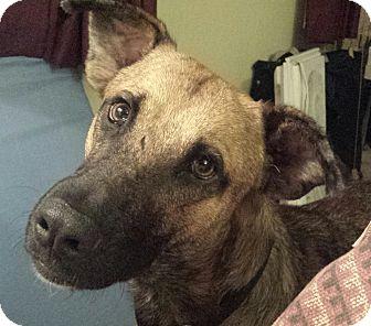German Shepherd Dog/Labrador Retriever Mix Dog for adoption in Cleveland, Ohio - Sammie - courtesy listing