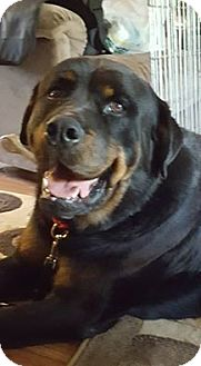 Rottweiler Mix Dog for adoption in Surrey, British Columbia - Brew