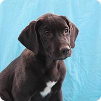 Mastiff/Labrador Retriever Mix Puppy for adoption in Burlington, Vermont - Larry (adoption pending)