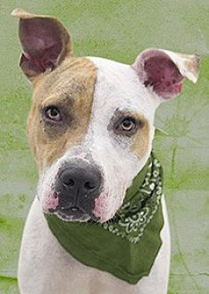 Pit Bull Terrier Mix Dog for adoption in Cincinnati, Ohio - Nanook