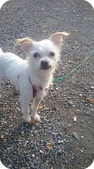 Chihuahua/Terrier (Unknown Type, Small) Mix Dog for adoption in oxford, New Jersey - Frankie