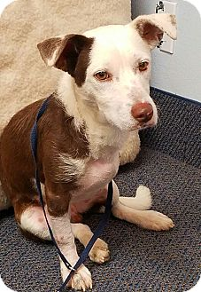 Jack Russell Terrier Mix Dog for adoption in Las Vegas, Nevada - Hunter