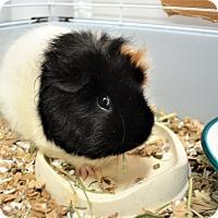 Adopt A Pet :: Pixie - Seattle, WA