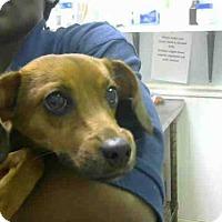 Adopt A Pet :: MAINE - Atlanta, GA