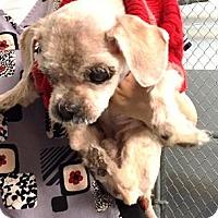Adopt A Pet :: Ernie - Glendale, AZ