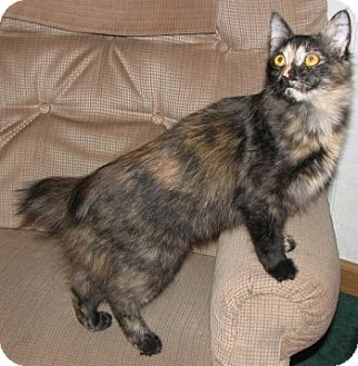 Cymric Kitten for adoption in Davis, California - Peanut Brittle