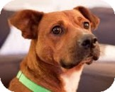 Boxer/Rhodesian Ridgeback Mix Dog for adoption in Snohomish, Washington - Jerry Fun and Friendly
