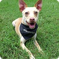 Adopt A Pet :: Shae - Mocksville, NC