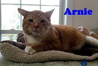 Domestic Shorthair Cat for adoption in East Stroudsburg, Pennsylvania - Arnie