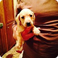Adopt A Pet :: Dylan - Charlemont, MA