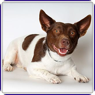 Rat Terrier/Corgi Mix Dog for adoption in Glendale, Arizona - Gwendolyn