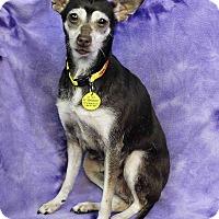 Adopt A Pet :: Tinkerbell - Westminster, CO