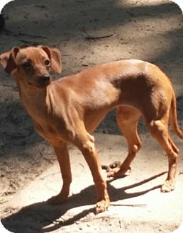 Dachshund/Italian Greyhound Mix Dog for adoption in Plymouth, New Hampshire - Cherie