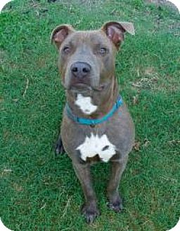 American Staffordshire Terrier Mix Dog for adoption in Chattanooga, Tennessee - Azul