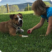 Boxer/English Bulldog Mix Dog for adoption in Hinton, West Virginia - Butch - Must see (4yo, 40lbs)