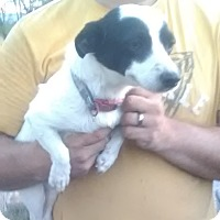 Chihuahua/Terrier (Unknown Type, Small) Mix Dog for adoption in Staunton, Virginia - Iggy