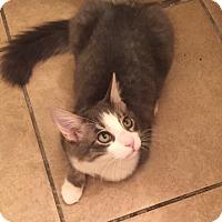 Domestic Shorthair Kitten for adoption in Scottsdale, Arizona - Petey