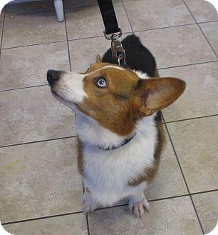 Pembroke Welsh Corgi Dog for adoption in Lomita, California - Aidan Lucas