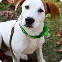 Hound (Unknown Type)/Shepherd (Unknown Type) Mix Puppy for adoption in West Grove, Pennsylvania - Hansel