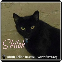 Domestic Shorthair Cat for adoption in Gonic, New Hampshire - Shiloh